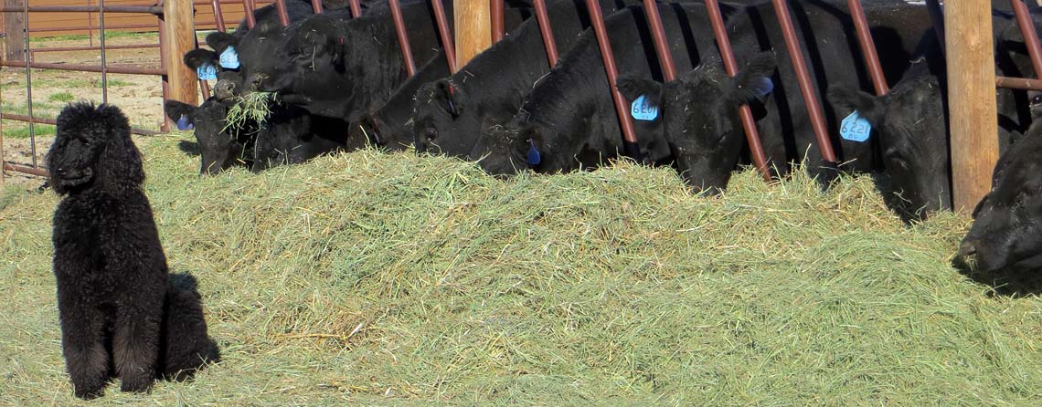Louie the Poodle, Flying Aj Ranch Cattle Black Angus Cattle Feeding