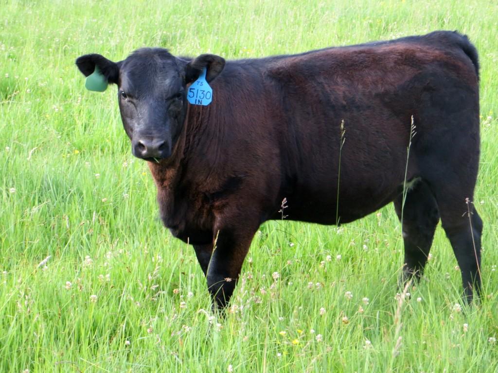 Bull5130