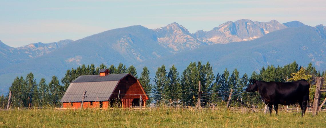 Flying AJ Ranch, Registered Angus, Montana Angus, Angus Seed Stock, Montana Angus Cattle, Montana Registered Angus Bulls, Bitterroot Angus, Stevensville Montana