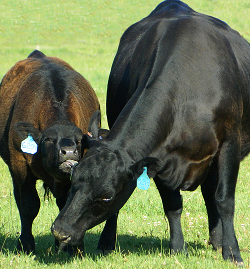 Flying AJ Ranch, Registered Black Angus, Stevensville Montana Ranch, Angus Seed Stock, Superior Black Angus Seed Stock, 2016-2017 Registered Angus Calves