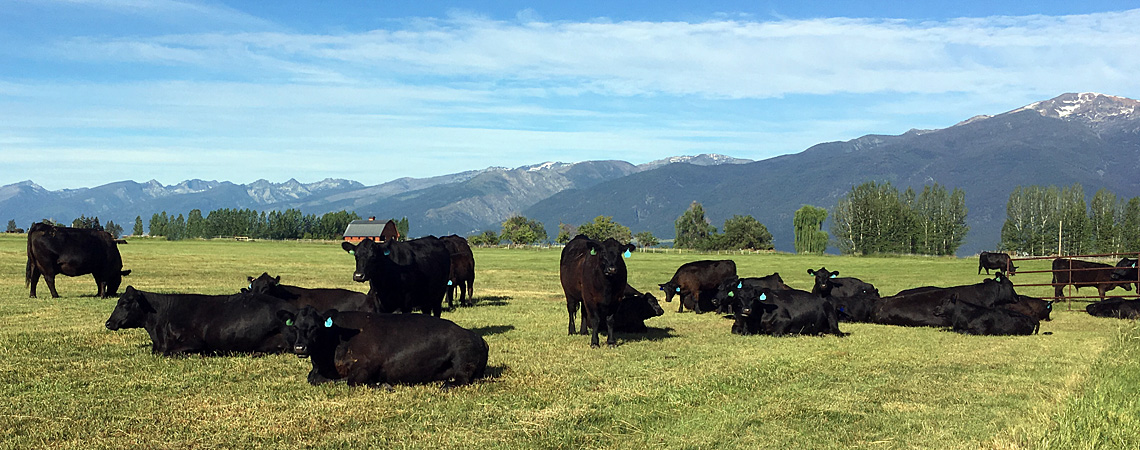 Flying AJ Ranch, Registered Angus, Montana Angus, Angus Seed Stock, Montana Angus Cattle, Montana Registered Angus Bulls, Bitterroot Angus, Stevensville Montana