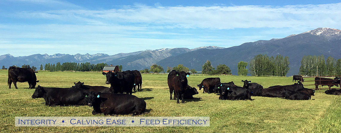 Angus Cows and Calves known for calving ease, feed efficiency, and genetic quality