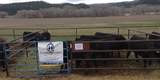 Top genetic black Angus bulls from the FLying AJ Ranch