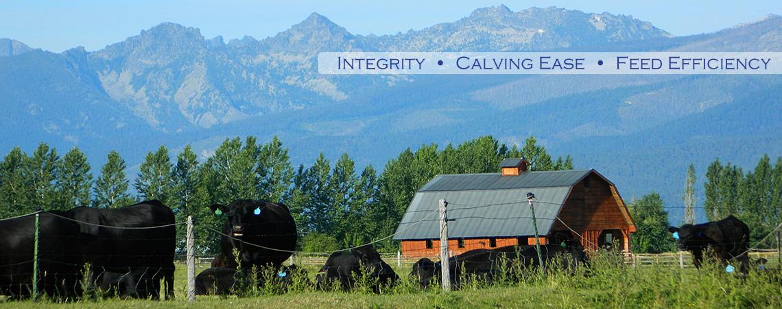 Best Black Angus Breeding Stock in Montana, Flying AJ Ranch