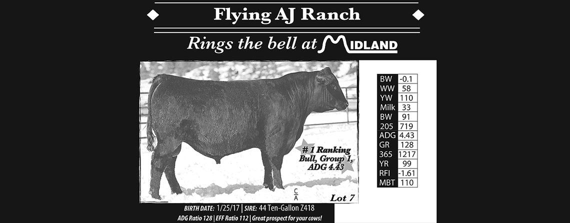 Registered Black Angus Bulls at the Flying AJ Ranch -Stevensville, Montana
