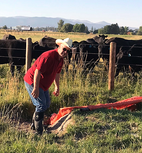 Arlin flood irrigating with a cow audience