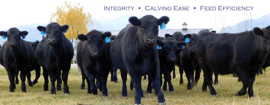 Registered Black Angus Calves at the Flying AJ Ranch in Stevensville, Montana