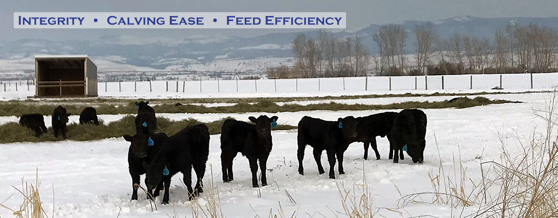 Black Angus Calves at the Flying AJ Ranch in Stevensville Montana